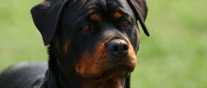 cão de raça Rottweiler